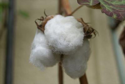 綿の特徴とメリット